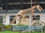 Adult Tyrannosaurus Rex artificial skeleton science education model DWS041